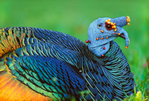 Ocellated Turkey resting in grass