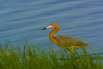Reddish Egret (breeding plumage) in marsh