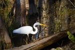 Great Egret foraging in cypress swamp