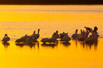 American White Pelicans, submerged sandbar before sunset