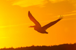 American White Pelican against setting sun