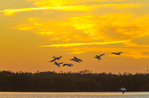 American White Pelicans lifting off after sunset