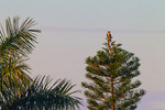 Osprey on Norfolk Island Pine at daybreak