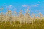 White Ibis, dwarf cypress, and sawgrass
