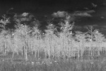 White Ibis, dwarf cypress, and sawgrass (infared conversion)