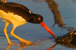 American Oystercatcher foraging in mangrove estuary