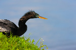 Anhinga (male) looking for nesting material