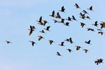 Glossy Ibis flock in flight