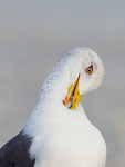 Lesser Black-backed Gull preening neck feathers