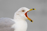 Ring-billed Gull calling/yawning