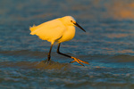 Snowy Egret showing yellow foot