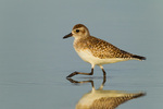 Black-bellied Plover (winter plumage) in tidal pool