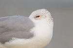 Ring-billed Gull resting on beach, bill tucked