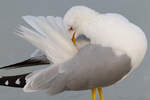 Ring-billed Gull preening on beach