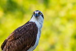 backyard Osprey