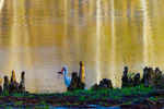 White Ibis with crawfish amid cypress knees at dawn
