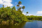 Riverbank palms, English Oxbow, Caloosahatchee (River)