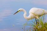 Great Egret foraging edge of pond