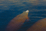 West Indian Manatees, Caloosahatchee (River)