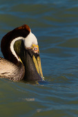 Brown Pelican foraging, bill and pouch partly submerged