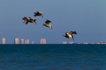 Brown Pelicans beginning dive, coastal development in background