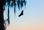 Black Vulture in cypress swamp at dawn