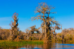 Baldcypress trees above Wakulla River (Osprey small in frame)