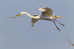 Great Egret (Ardea alba) with stick for nest