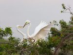 Great Egrets exhanging stick for nest 