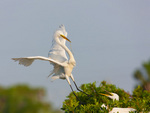 Great Egret bringing stick for nest
