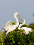 Great Egret giving stick to mate
