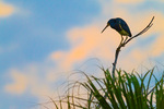 Tricolored Heron silhouetted above reeds at daybreak