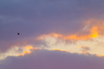 Tricolored Heron small against cloudscape at dawn