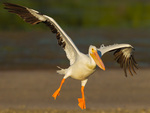 American White Pelican set to land