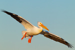 American White Pelican showing epidermal plate