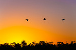 American White Pelicans over mangroves at sunrise
