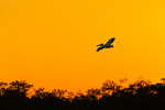 American White Pelican over mangroves at sunrise