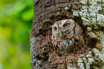 Eastern Screech-Owl at nest cavity