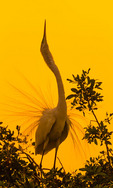 Great Egret skypointing, displaying nuptial plumes at sunset
