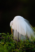 Great Egret displaying nuptial plumes at daybreak