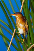 Least Bittern (male), breeding plumage
