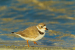 Piping Plover on sandy shore