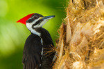 Pileated Woodpecker (female) on palm trunk