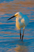 Snowy Egret (Egretta thula) in shallows at last light