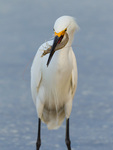 Snowy Egret with bay shrimp (Panaeus dourarum)