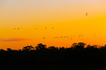 White Ibis over mangroves at dawn