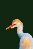 Cattle Egret (breeding plumage) at evening roost