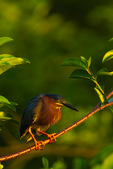 Green Heron (breeding plumage)