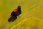 Red-winged Blackbird singing from bulrushes