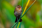 Red-winged Blackbird in bulrushes